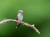 Juvenile Ruby-throated Humming Bird