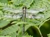 Black-shouldered Spinylegs (female)