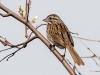 Song Sparrow #3