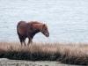 Assateague Horses #2