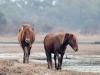 Assateague Horses #4