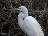 Great Egret (male) #2