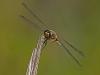 Common Baskettail