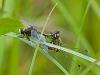 Hudsonian Whiteface, mating wheel