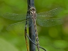 Delta-spotted Spiketail (male)