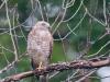 Hawk #1