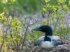 Common Loon on Nest #4