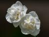 Fancy Daffodils #2