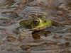 Green Frog #1