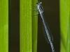 Eastern Forktail (female)