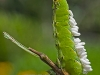 Tomato Hornworm with Wasp Cocoons