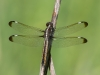 Spangled Skimmer (female)