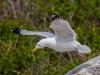 Herring Gull: Take Off!