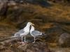 Herring Gull (courtship behavior)