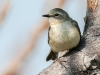 Tennesse Warbler (male)
