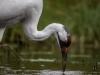 Whooping Crane #4 (captive animal)