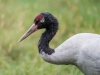 Black-necked Crane   (captive animal)