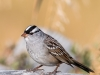 White-crowned Sparrow, Male (Red Rock Lakes NWR)