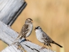 White-crowned Sparrows, Pair (Red Rock Lakes NWR)