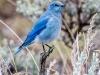 Mountain Bluebird #2 (Yellowstone NP)