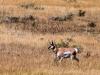 Pronghorn Antelope (Red Rock Lake NWR)