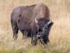 Grazing Bison #1 (Yellowstone NP)