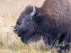Grazing Bison #2 (Yellowstone NP)