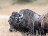 Rutting Bison #2 (Yellowstone NP)