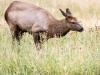 Elk Doe (Yellowstone NP)
