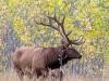 Elk Bull #1 (CM Russell NWR)