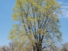 Vernal Tree #1