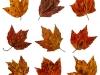 Maple Leaf Matrix