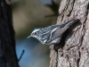 Black and White Warbler #1