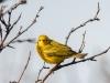 Yellow Warbler #2