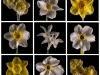 Daffodil Matrix