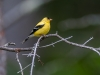 Goldfinch (male)