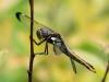 Spangled Skimmer (female)