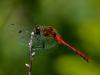 Meadowhawk (male) #1