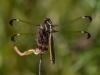 Spangled Skimmer (female) #2