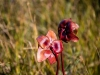 Pitcher Plant Flowers - End of Season