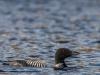 Common Loon #2 (Gregg Lake - May 2020)