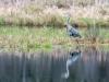 Nearby Great Blue Heron