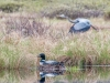 Loon On Nest with Heron Flyby