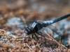 Chalk-fronted Corporal (male)