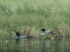 Loon Pair at Nest #2