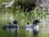 Loon Family (Two Chicks & Two Adults) $1