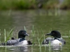 Loon Family (Two Chicks & Two Adults) $2