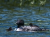 Adult Loon with Two Chicks