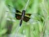 Widow Skimmer (female) #1