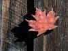 Stonewall Farm -- Red Maple